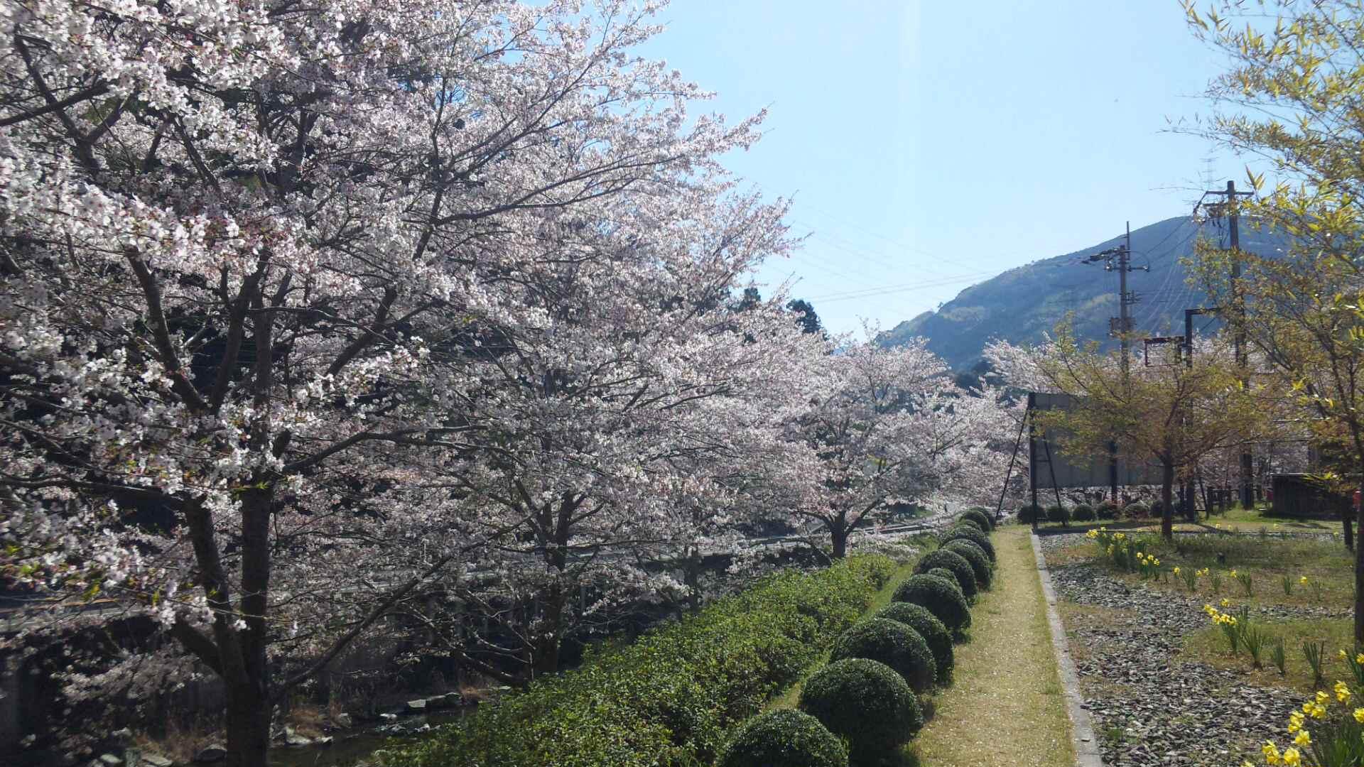 桜の画像 p1_29